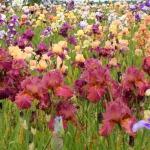 Īrisu dārzs ziedu plaukumā. Foto: Jānis Kamerāds.