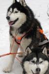 Sniega suņi, braucieni suņu pajūgos