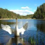 2006.gads. Gulbja dziesma Kandavā Teteriņa ezerā. Foto: Egils Rēdmanis
