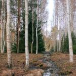 2018. gada pavasaris mežs pie Kandavas. Foto: Jānis Kamerāds
